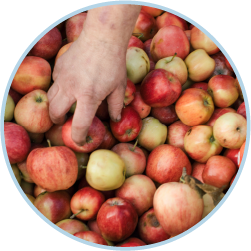 Hand reaching into container of apples